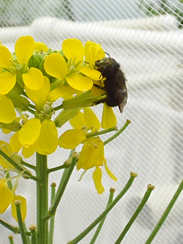 Blue Orchard Bee on Erysimum