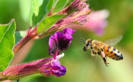 Seeds of cuphea contain valuable oils comprised of medium chain fatty acids, useful for cosmetics and other bioproducts. These plants provide agroecosystem services, such as active visitation and resource use by pollinating insects like this honey bee. Photo by Jim Eklund.