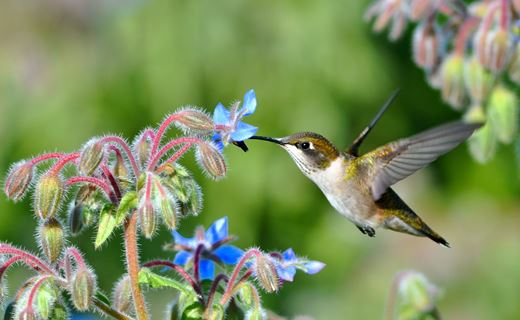 Female ruby-throated hummingbird visiting a borage flower. Borage is an oilseed crop adapted to the Upper Midwest. Its seeds contain high levels of gamma linolenic acid, a heart-healthy omega-3 fatty acid and a substitute for fish oil. Borage is attractive to many types of pollinators. 