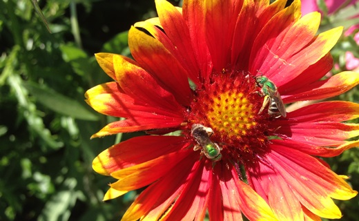 Native sweat bees on Gaillardia next to a soybean field with an imbedded ½-acre plot of mass-flowering spring canola. Crops with pollinator value, like canola, affect pollinator visitation and seed set of nearby native plants, an agroecosystem service.  Photo by Carrie Eberle
