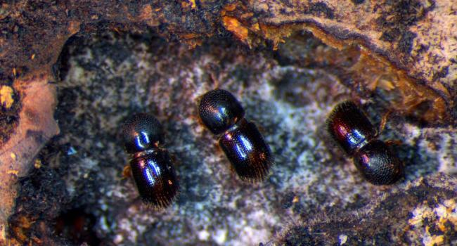 Ambrosia beetles tending to their fungus garden