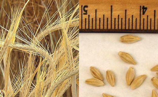 Barley (Hordeum vulgare) seed heads on the left and Barley seeds on the right with ruler (click on image for more information)