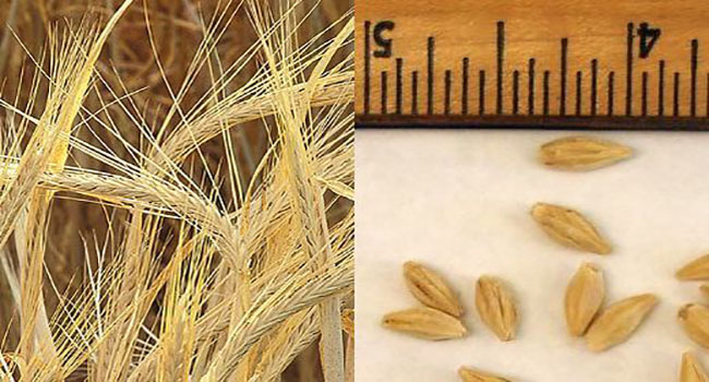 image of Barley seed heads on the left and Barley seeds with ruler on the right