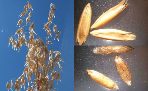 Oat (Avena Sativa) panicles on the left and Oat seeds on the right (Oats with hulls on the top and dehulled Oat groats on the bottom)