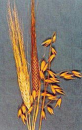 barley and oat seed heads