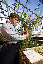 Image of Research Plant Physiologist Ronald D. Hatfield examining an alfalfa plant in one of the USDFRC's greenhouses.