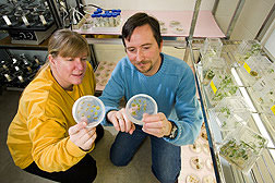 Research plant molecular geneticists Jane Marita and Mike Sullivan examining genetically modified alfalfa samples.
