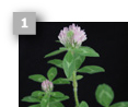 Image of a red clover.