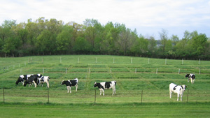 Image of a cows on a grazing research plot.