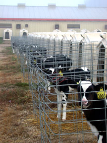 Image of a row of outdoor calf hutches.