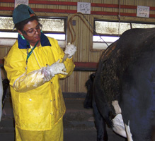 Image of a USDFRC technician taking a rumen sample from a fistulated cow.