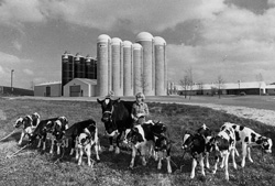 Image of a cow and her calves during the early days of the farm.