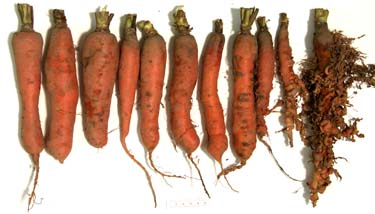 Image of nematode-susceptible and nematode-resistant carrot roots