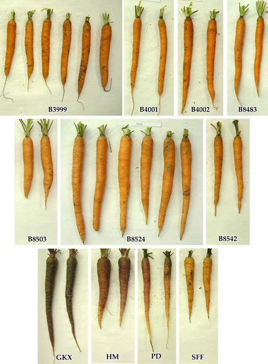 Image of carrot breeding lines