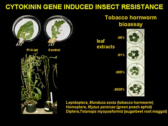 CYTOKININ GENE INDUCED INSECT RESISTANCE