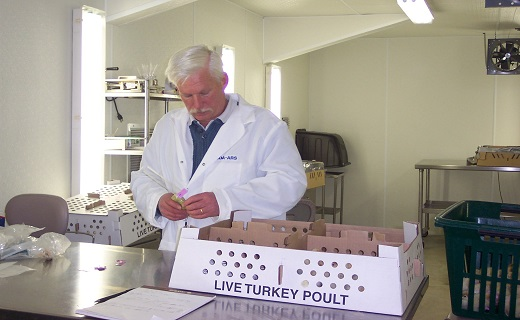 Dr. Bill Huff tagging turkey poults.