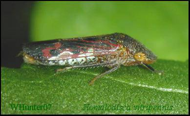 Adult Glassy-winged Sharpshooter Leafhopper, GWSS, Homalodisca coagulata (Say). Vector of Pierce's Disease of grapes, a xylem-limited bacterium, Xylella fastidiosa. Adults are about ? inch, (12 mm) long.