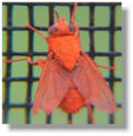 Red-dyed stable fly