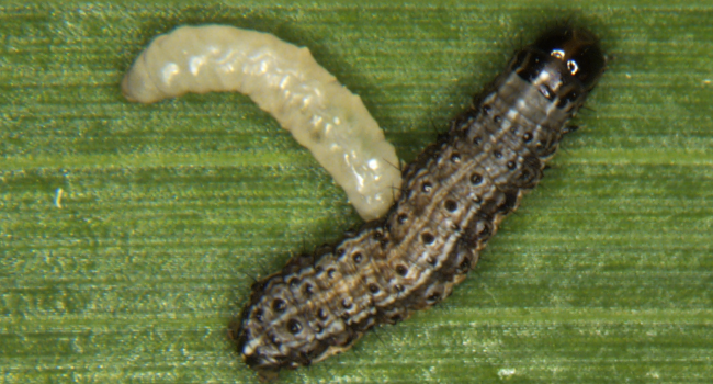 larva of the parasitoid wasp, Cotesia, emerges from its fall armyworm host