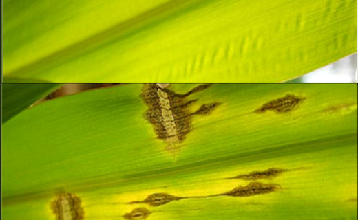 Fungal attacks elicit many known defense responses from plants. Chemistry scientists explore plants' defense responses to biotic stressors, but also under heat, drought, and elevated CO2 conditions. Pictured are healthy (top) and southern leaf blight infected (bottom) maize leaves.