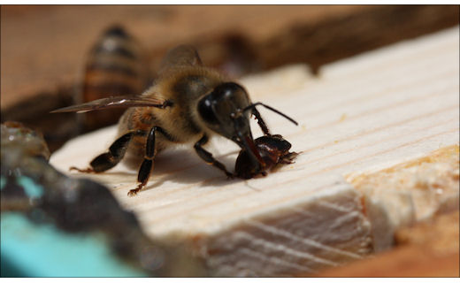 Chemistry scientists conduct important research to address issues regarding pollinator pathogens and pests, and includes the development of environmentally safe tools that can be used for combating pests of managed bees. Pictured is a honey bee and the invasive pest small hive beetle.