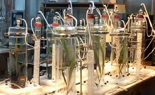 Glass chambers used for the collection of herbivore induced plant volatiles from maize. Collected volatiles are analyzed to determine the airborne chemical defenses of corn as a result of armyworm attack.
