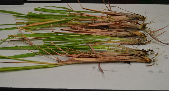 Lemongrass, Cymbopogon citratus, being prepared for shipment to a researcher.