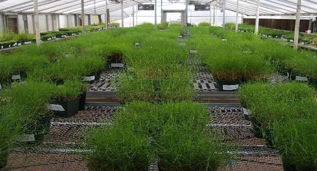 Warm-season grass germplasm being maintained clonally in the greenhouse.