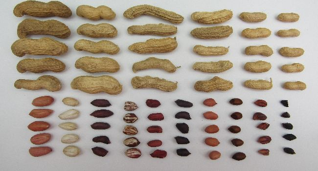 Pod and seed diversity in cultivated peanut, Arachis hypogaea.