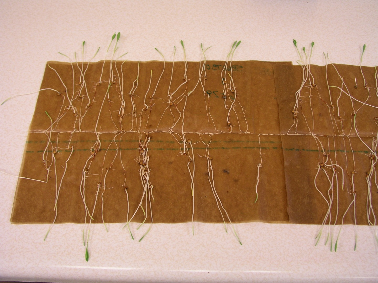 Sorghum seedlings ready for counting during germination protocol