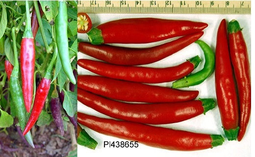 Seed oil and fatty acid composition in peppers