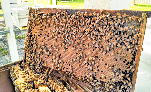 Frame of honey bees and brood.