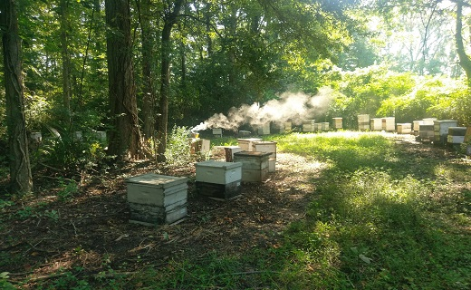 Apiary in the woods with a smoker lit.