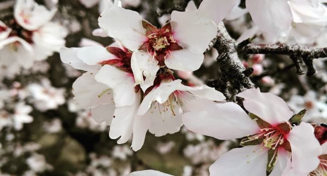 Close up of an almond bloom