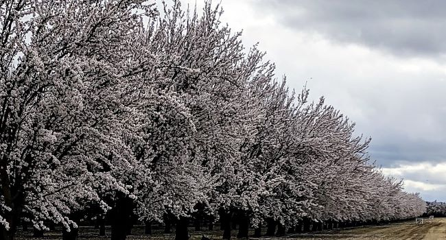 Almond orchard in full bloom.