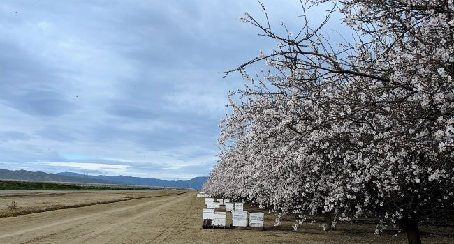 Experimental honey bee colonies on the side of an almond orchard.