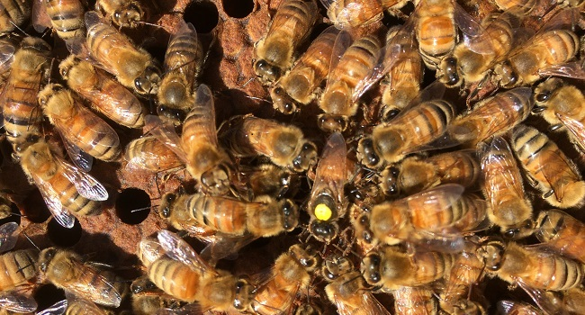 Honey bee queen with a yellow dot surrounded by worker honey bees.