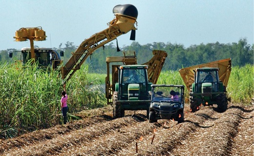 Harvesting Sugarcane Research Plots