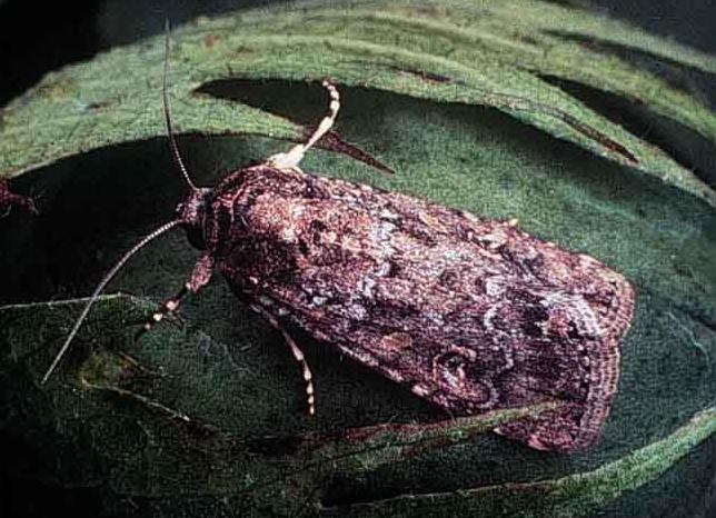 Beet armyworm moth
