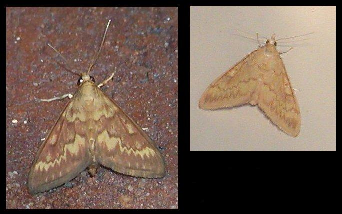Male and female corn borer moth