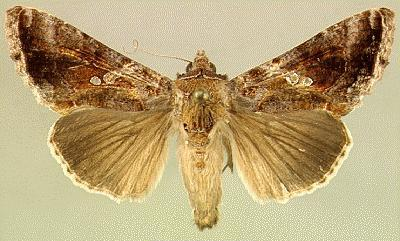 Soybean looper moth