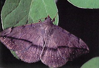 Velvetbean caterpillar moth
