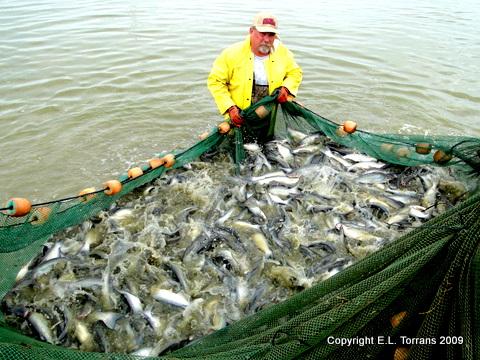Market-size fish