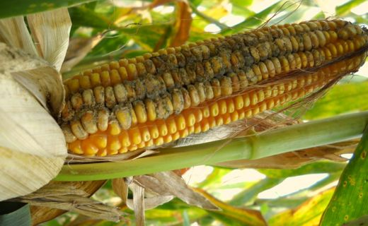 Corn can be infected by fungus, Aspergillus flavus.  This infected corn can be contaminated with toxins, including aflatoxin.