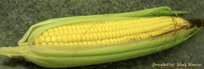 Corn in Husk
