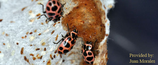 Pink spotted lady beetles (Coleomegilla maculata) feeding on artificial diet.