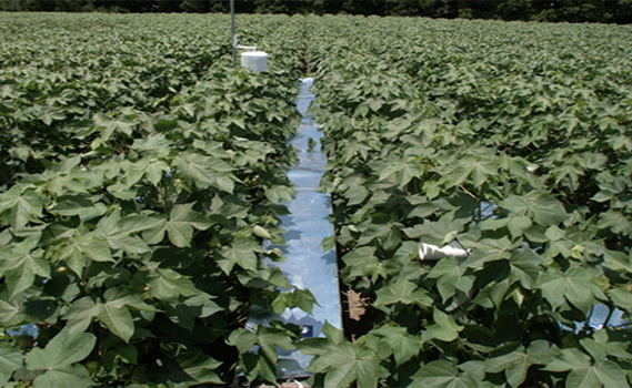 Field studies provide data on the effect of heat stress on cotton yield.