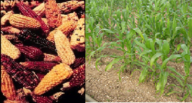 Maize Research