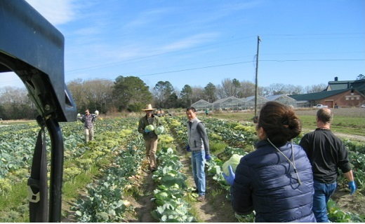 Cabbage Harvest for the Low Country Food Bank