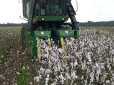 Cotton picker in SC field